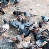 Large group of pigeon on street Royalty Free Stock Photos