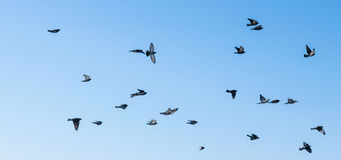 Large group of pigeons. Stock Images