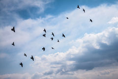 A large group of pigeons. Royalty Free Stock Photo