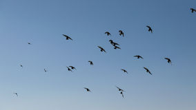 Large group of pigeons. Stock Photos