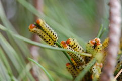 Large Group of Pine Caterpillars Royalty Free Stock Photo
