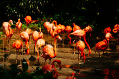 Large group of pink flamengos drinking water. Large group of pink flamengos walking around on the riverside at daytime drinking water in the sun Stock Photos