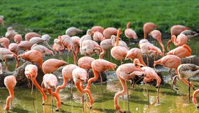 Large group of pink flamingos drinking water inside a pond and preening Stock Photography