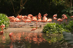 Large group of pink flamingos walking around on the riverside. Large group of pink flamingos walking around on the riverside at daytime drinking water in the Royalty Free Stock Image