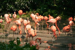 Large group of pink flamingos walking around on the riverside. Stock Images
