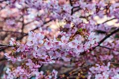 A large group of pink plum blossoms stock photos