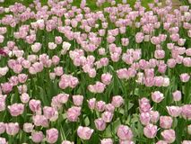 A large group of pink turmeric flowers royalty free stock image