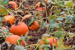 Large Group Of Pumpkins Grow In Atlanta Patch Royalty Free Stock Images