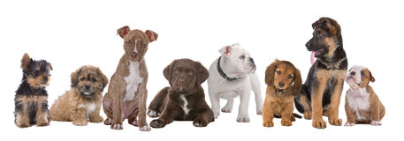 Large group of puppies. On a white background.from left to right, Yorkshire terrier,mixed breed boomer, pitbull terrier,chocolate labrador,French bulldog stock photo