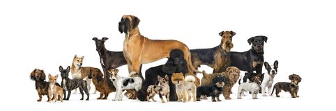 Large group of purebred dogs in studio against white background stock image