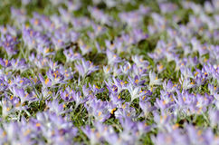 Large group of purple crocuses Royalty Free Stock Images