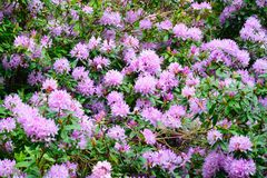 Large group of Purple Rhododendrons Royalty Free Stock Photos