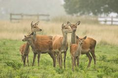 A large group of red deer. A large family group of red deer old and young staring stock photos