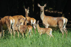 Large group of red deers and hinds walking in forest. Wildlife in natural habitat Stock Images