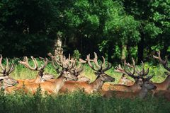 Large group of red deers and hinds walking in forest. Wildlife in natural habitat. Large group of red deers and hinds walking in forest. Wildlife in the natural stock photography