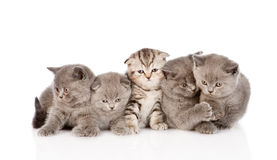 large group scottish and british shorthair kittens. isolated Royalty Free Stock Images