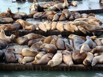 Large group of Sea Lions rest on rows of Piers royalty free stock photography