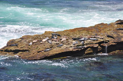 Seals on rocky ledge Stock Images