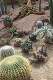 Large group of small cacti in Gothenburg botanical garden, cactus, plants, desert, succulent Royalty Free Stock Images