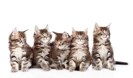 Large group of small maine coon cats looking away.  on w Royalty Free Stock Image