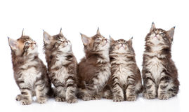 Large group of small maine coon cats looking up. isolated on white Stock Photos