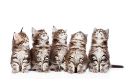 Large group of small maine coon cats looking up. isolated Stock Photos