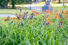 A large group of sparrows resting on summer lilies. stock photography