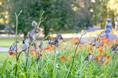 A large group of sparrows resting on summer lilies. royalty free stock images