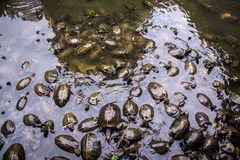 Large group of terrapins in a shallow pond Stock Photo