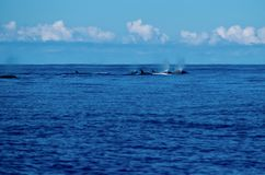 Pod of northern bottlenose whales royalty free stock image