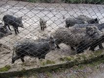 Large group of wild boars in the mud behind the grid in the zoo royalty free stock photo