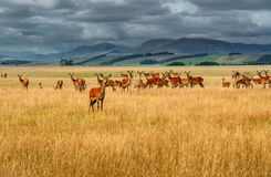 A large group of wild reindeer, mountains and cloudy sky on the background. stock photography
