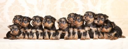 Large group of Yorkshire Terrier puppies. Baby animal theme royalty free stock image
