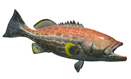 Large grouper fish, isolated Stock Images