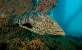 Large grouper in Western Australia. Large grouper under the Navy pier near Exmouth, Western Australia Royalty Free Stock Images