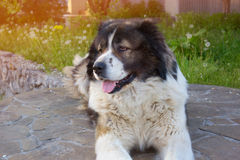 A large guard dog. Caucasian Shepherd, a large guard dog Royalty Free Stock Images