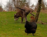 Large guard dog protects free-range chickens, but with needs. Large guard dog protects free-range chickens against external threats, but with the need to pee royalty free stock images