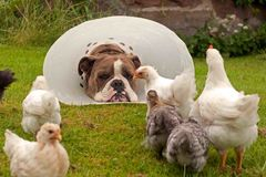 Large guard dog with veterinary neck collar, protects free-range chickens. Large guard dog with veterinary neck collar, free-range chickens against external royalty free stock image