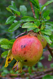 A large guava fruit on a tree grown in local garden at Rodrigues Island, Mauritius Stock Image