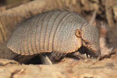 Large hairy armadillo. In the hollow trunk Royalty Free Stock Photos