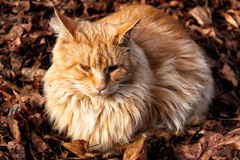 Large hairy cat laying the leaves Stock Photo