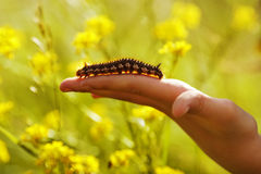 Large hairy caterpillar crawling on arm Royalty Free Stock Images