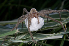 Large hairy spider and her egg sac Stock Photos