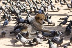 Dog lying down with pigeons pecking feed off its fur. Large half asleep placid tricolor dog lying down with pigeons pecking feed off its fur in Durbar Square royalty free stock photo