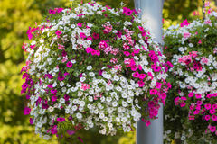 Large hanging basket with vibrant flowers Royalty Free Stock Images