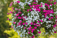 Large hanging basket with vibrant flowers Royalty Free Stock Photography