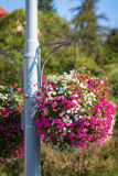 Large hanging basket with vibrant petunia flowers Royalty Free Stock Photo