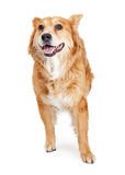 Large Happy Friendly Crossbreed Dog Stock Image