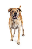 Large Happy Mixed Breed Dog Standing Royalty Free Stock Photography
