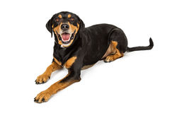 Large Happy Rottweiler Crossbreed Dog Laying Royalty Free Stock Photos